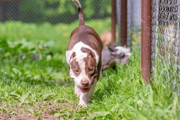Ritratto di cani da combattimento per una passeggiata nel parco. toro Foto Premium