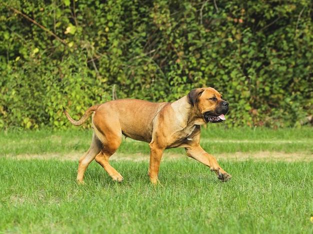Ritratto di corso dog, razza italiana di cane Foto Premium