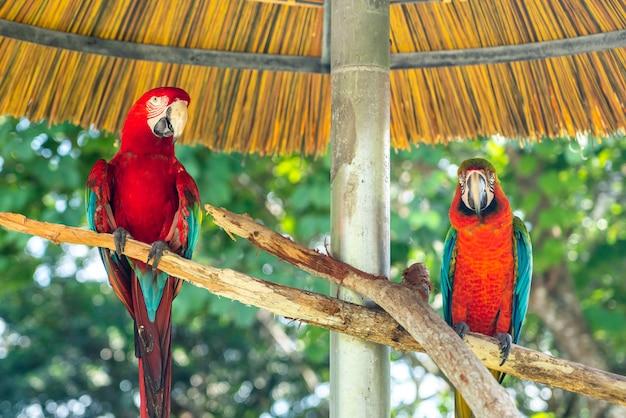 Ritratto di due pappagalli colorati in un parco Foto Premium