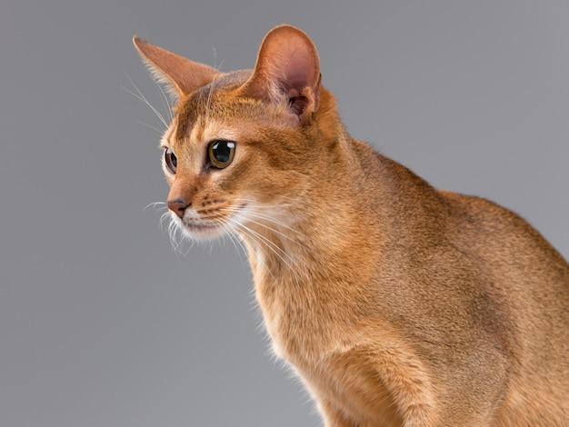 Ritratto di giovane gatto abissino di razza Foto Gratuite