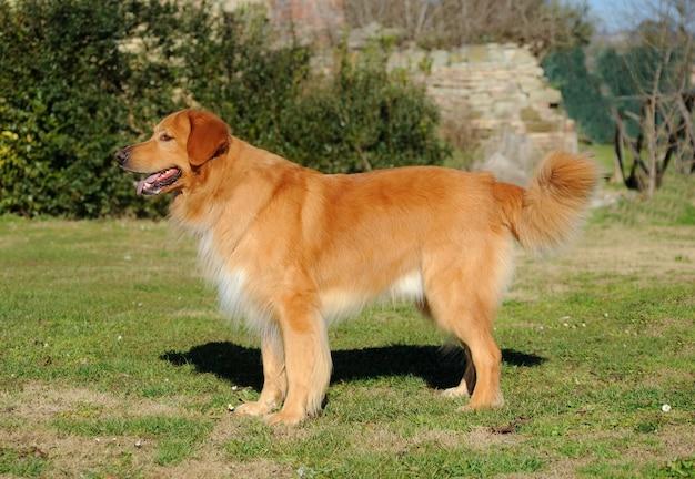 Ritratto di hovawart dog Foto Premium