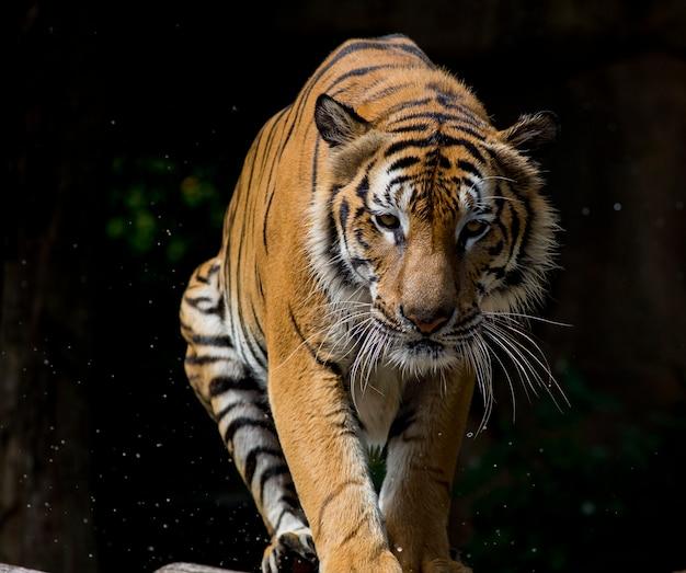 Ritratto di tigre davanti a sfondo nero Foto Premium