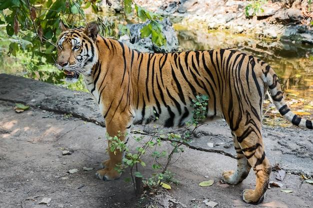 Ritratto di tigre Foto Premium