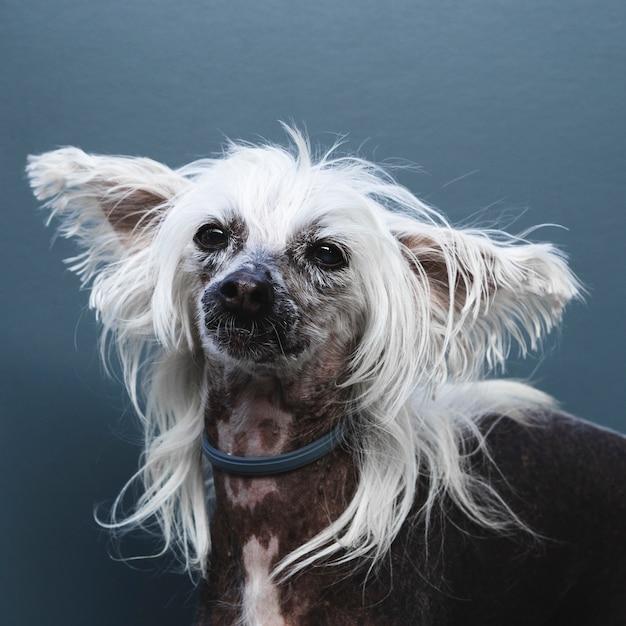 Ritratto di un cane con orecchie lunghe e acconciatura Foto Gratuite