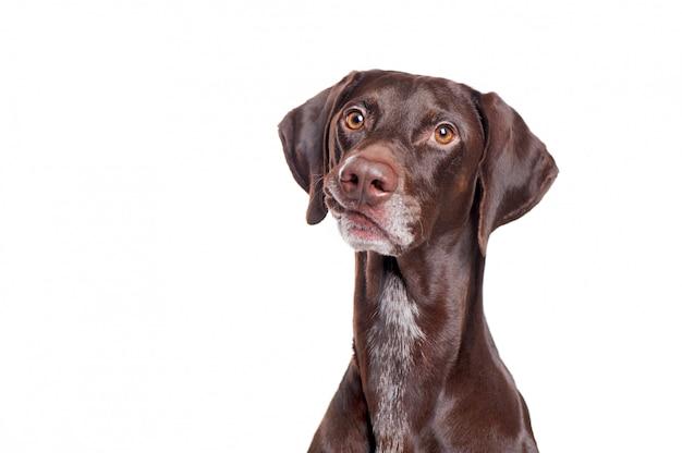 Ritratto di un cane del puntatore che fa smorfia divertente Foto Premium