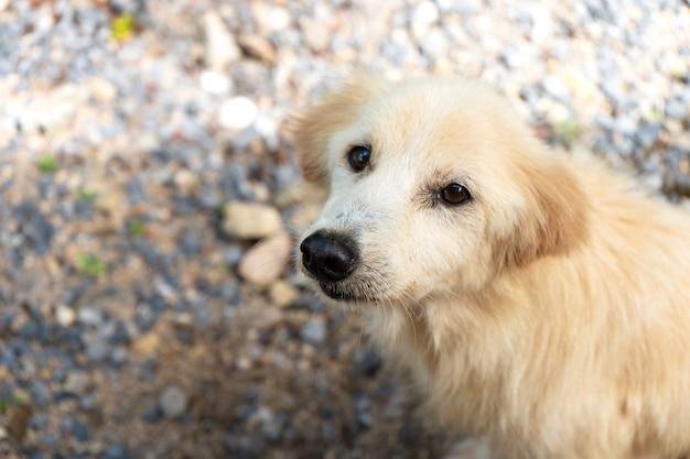 Ritratto di un cane della via bianca in tailandia. cane tropicale Foto Premium