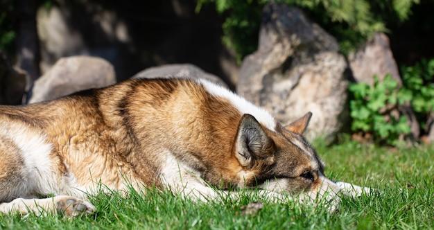 Ritratto di un cane husky sdraiato sull'erba. Foto Gratuite
