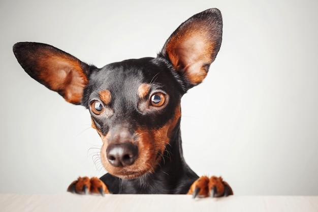Ritratto di un cane su uno sfondo bianco. Foto Premium