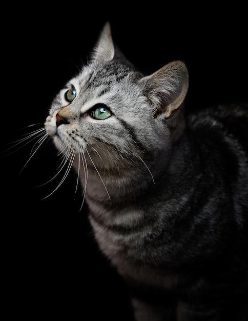 Ritratto di un gatto grigio con gli occhi verdi sul nero Foto Premium