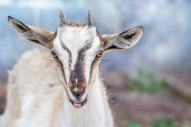 Ritratto di una piccola capra nelle fattorie su uno sfondo sfocato primo piano Foto Premium
