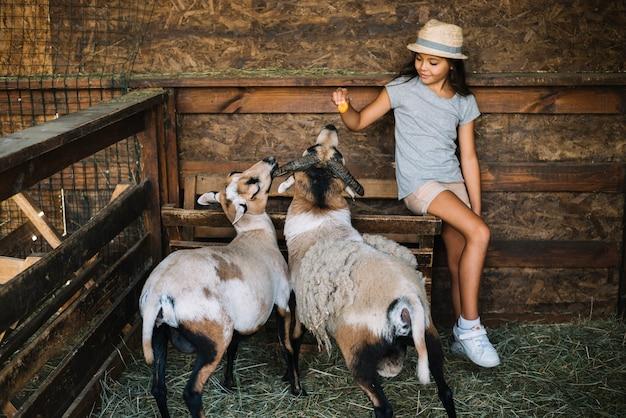 Ritratto di una ragazza che si siede nel granaio che alimenta le pecore Foto Gratuite