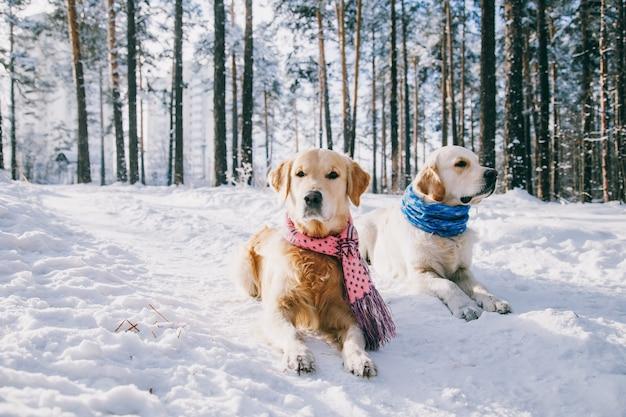 Ritratto di una sciarpa da portare del cane all'aperto in inverno. due giovani golden retriever che giocano nella neve nel parco. abiti Foto Premium