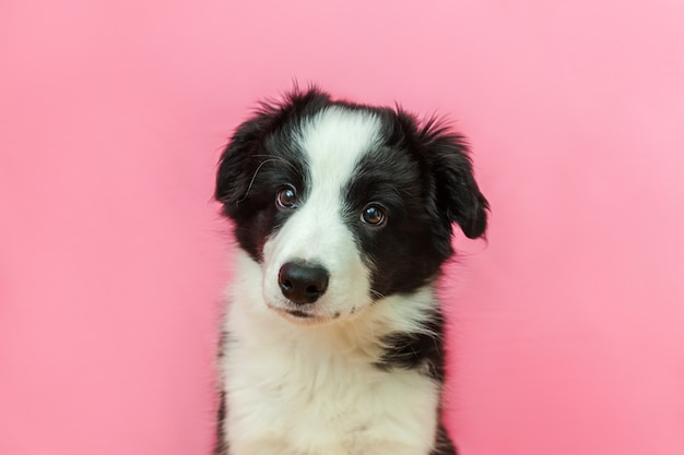 Ritratto divertente dello studio del cucciolo di cane sorridente sveglio border collie su fondo pastello rosa Foto Premium