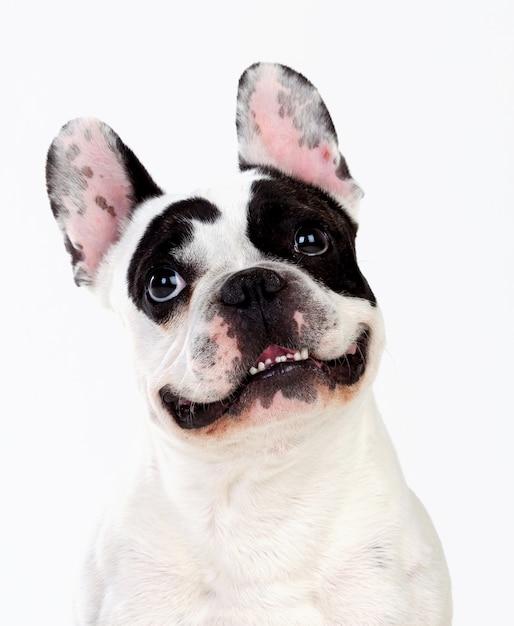Ritratto in studio di un simpatico bulldog Foto Premium