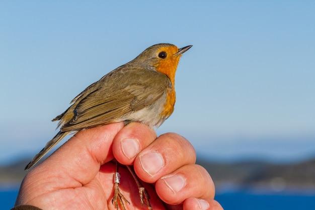 Robin, erithacus rubecula, uccello nella mano di una donna per la fascia di uccelli Foto Premium