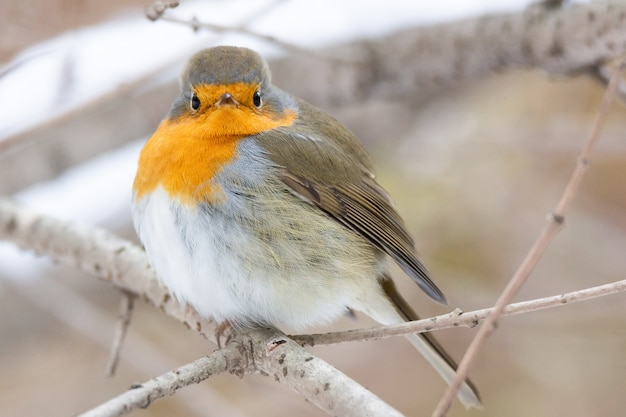 Robin red scena di neve al seno Foto Premium