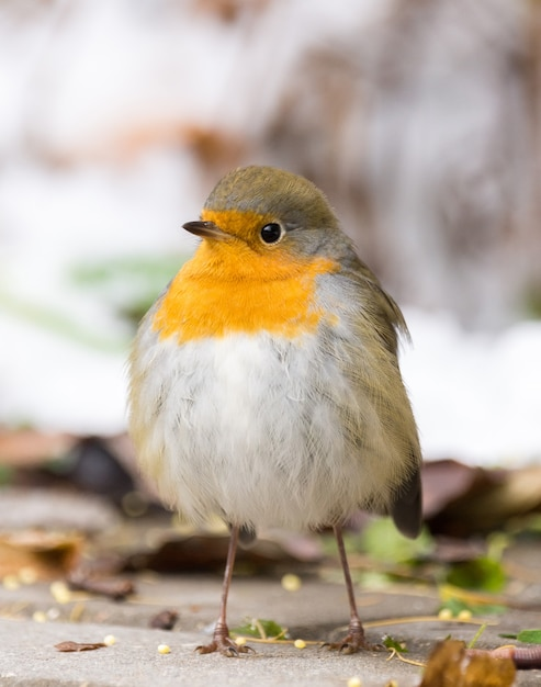 Robin su un ramo Foto Premium