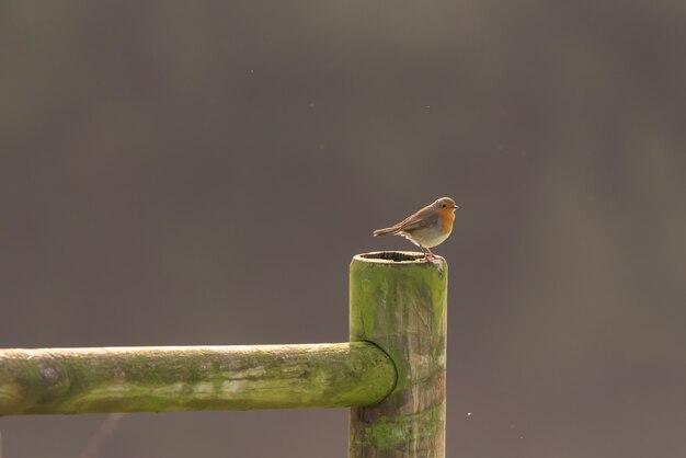 Robin su una staccionata di legno Foto Premium