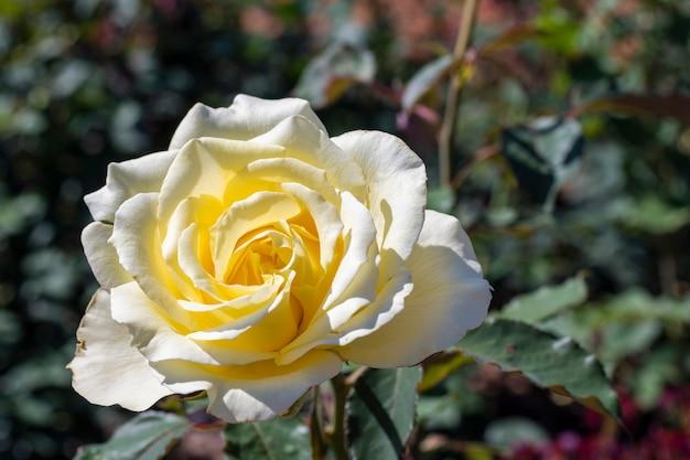 Rosa bianca del primo piano all'aperto Foto Gratuite