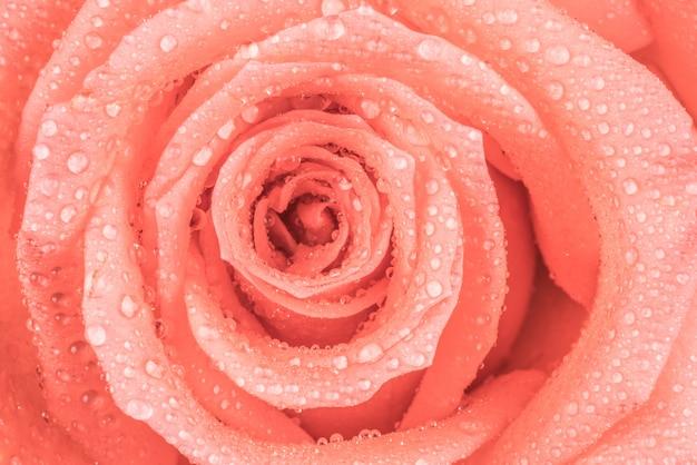 Rosa rosa Foto Premium