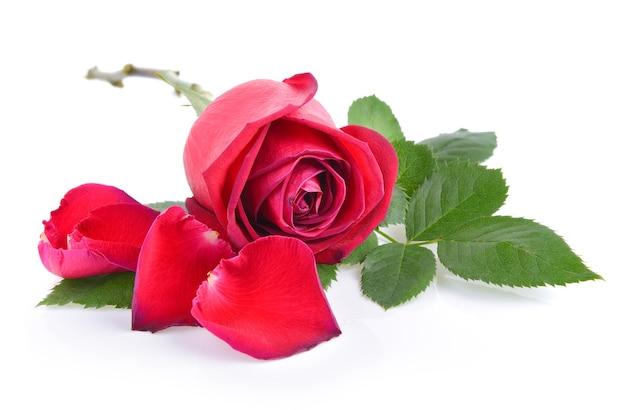 Rosa Rossa Con Foglia Su Sfondo Bianco Scaricare Foto Premium