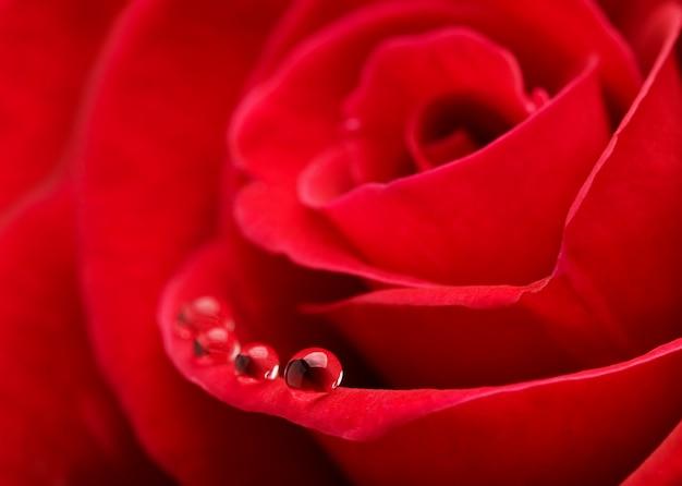 Rosa rossa con gocce d'acqua Foto Premium