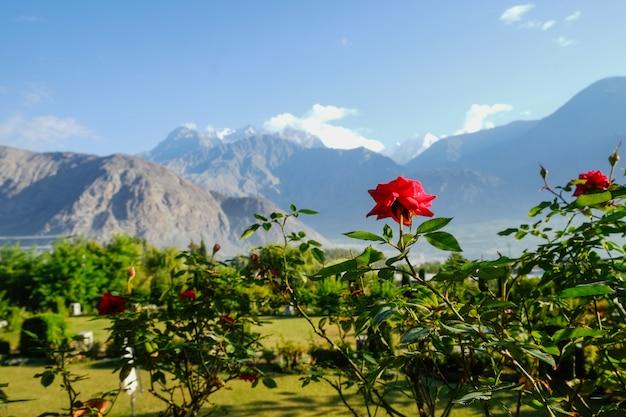 Rosa rossa di fioritura contro la vista di paesaggio di fogliame verde in estate e catena montuosa del karakoram Foto Premium