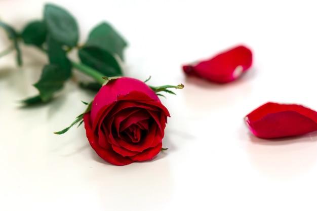 Rosa Rossa Isolato Su Sfondo Bianco Scaricare Foto Premium