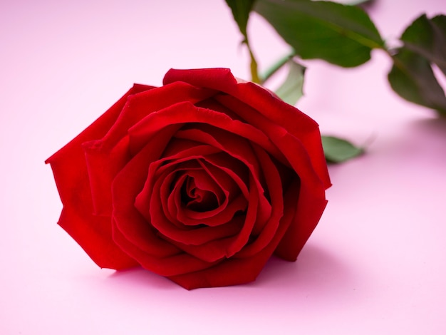 Rosa Rossa Isolato Su Sfondo Rosa Scaricare Foto Premium