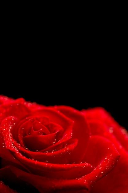 Rosa Rossa Su Sfondo Nero Scaricare Foto Premium