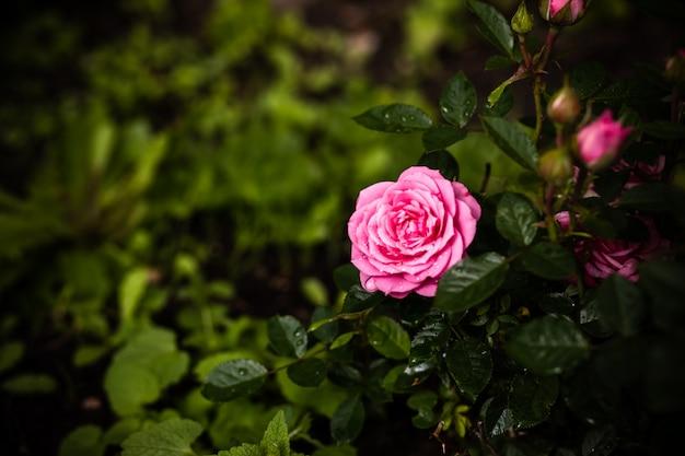 Rose in giardino. cespuglio di rose pallido rosa sopra il giardino o il parco di estate Foto Premium