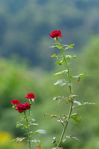 Rose rosse in giardino, le rose sono belle, fowers per san valentino. Foto Premium