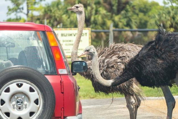 Safari in auto attraverso il parco di west palm beach in florida. automobili che guidano vicino agli animali nello zoo animale libero della gabbia Foto Premium