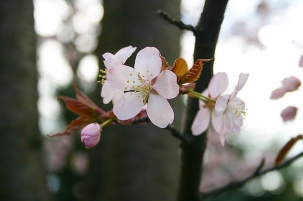 Sakura albero primavera fiore giappone scaricare foto gratis for Sakura albero