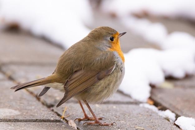 Scena di neve rossa di robin Foto Premium