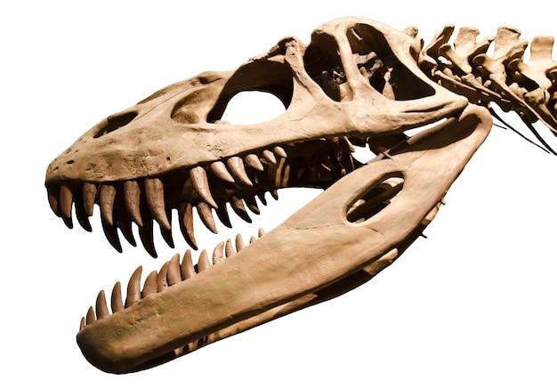 Scheletro del dinosauro sopra priorità bassa isolata bianca Foto Premium