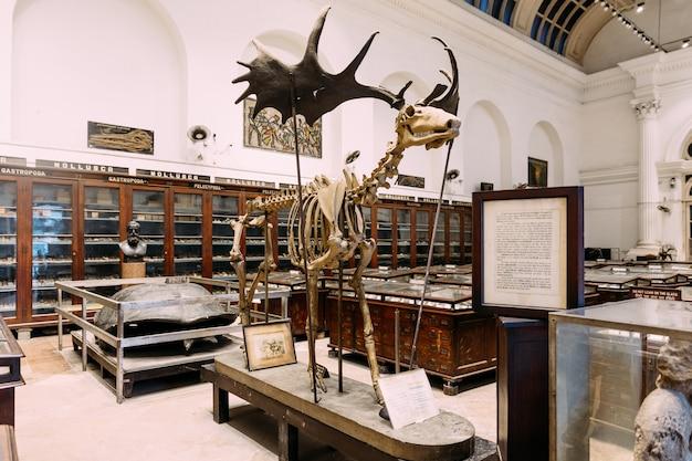 Scheletro di alce antico all'interno del museo indiano di calcutta, in india. Foto Premium