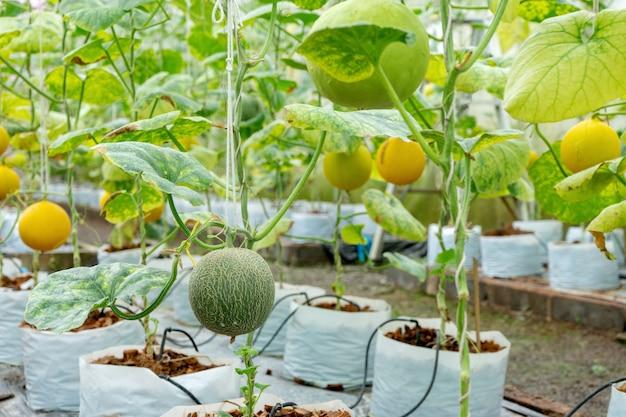 Scuola materna della serra di vetro del melone tailandia Foto Premium