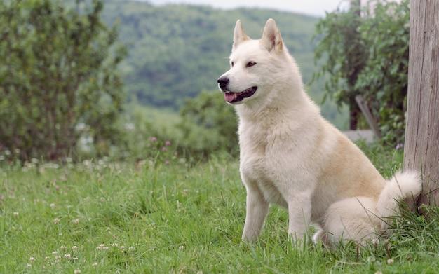 Seduta maschio beige del cane di laika all'aperto Foto Premium