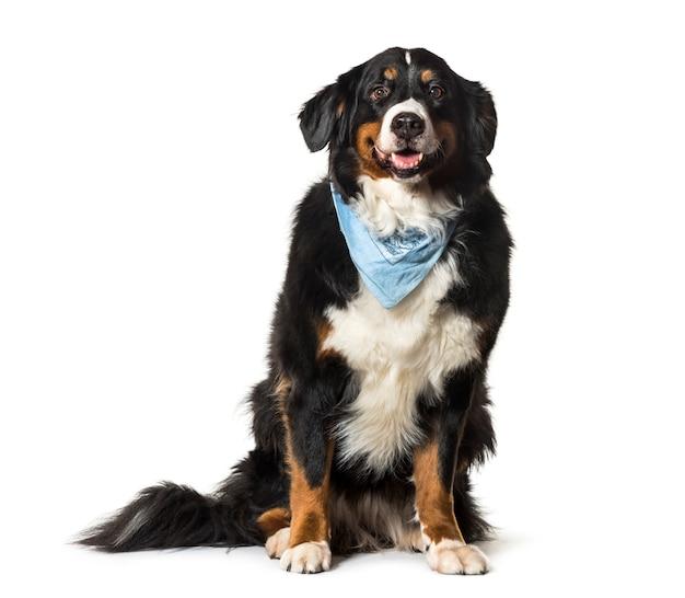Seduto bernese mountain dog ansimando con una sciarpa blu Foto Premium