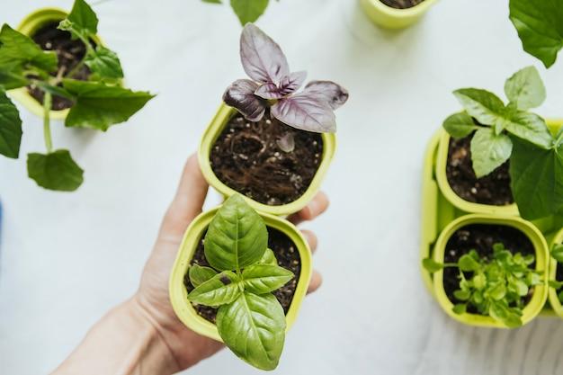 Semenzali del basilico in vasi di plastica verdi in una mano femminile. Foto Premium