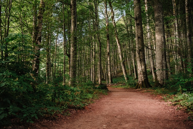 Sentiero forestale Foto Premium