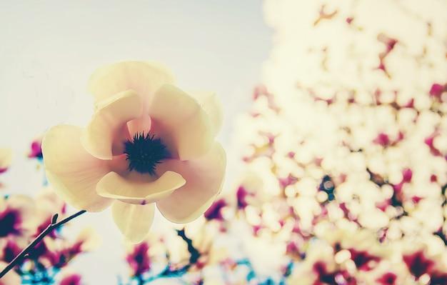 Sfondo di magnolie in fiore. fiori. messa a fuoco selettiva Foto Premium