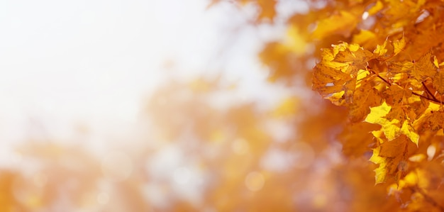 Sfondo naturale delle foglie di acero gialle di autunno Foto Premium