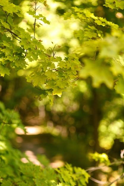 Sfondo sfocato naturale del percorso nella foresta di estate Foto Premium