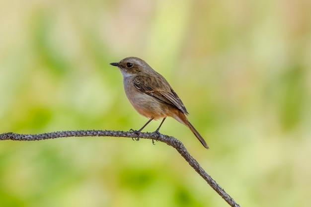 Simpatici uccelli bellissimi, gray bushchat (saxicola ferrea) Foto Premium