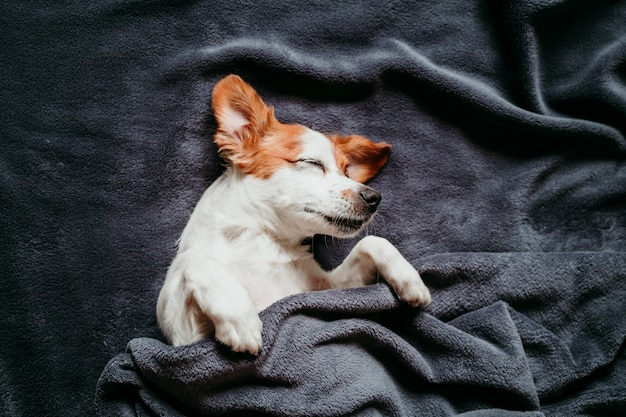 Simpatico cane jack russell piccolo seduto sul letto, coperto con una coperta grigia Foto Premium