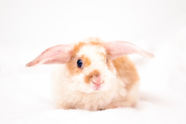 Simpatico coniglietto di colore arancione e bianco con orecchie grandi. coniglio su sfondo bianco. Foto Premium