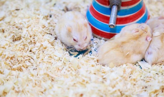 Simpatico esile criceto nano lilac campbell hamster mangiare cibo per animali da compagnia Foto Premium