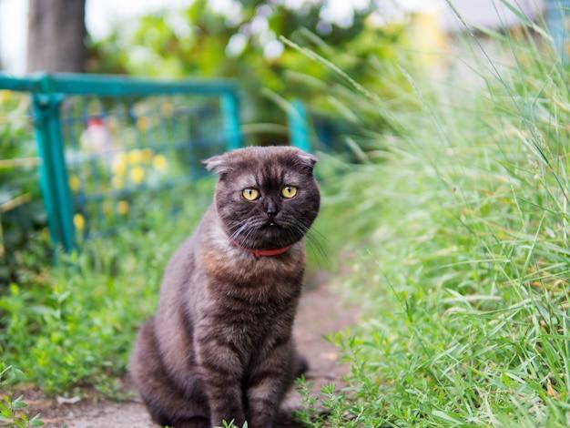 Simpatico ritratto di gatto nero scozzese Foto Premium